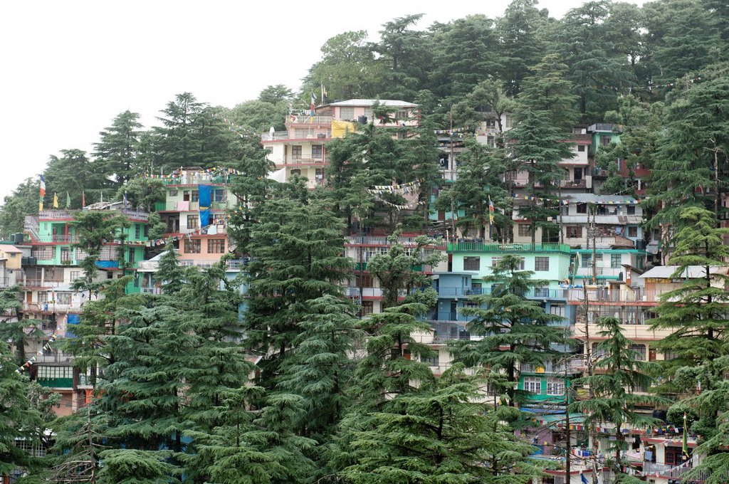 Stock Photo: 1848-629662 Houses and trees, cedar trees, Upper Dharamsala, McLeod Ganj, Himachal Pradesh, Himalayas, India, South Asia, Asia