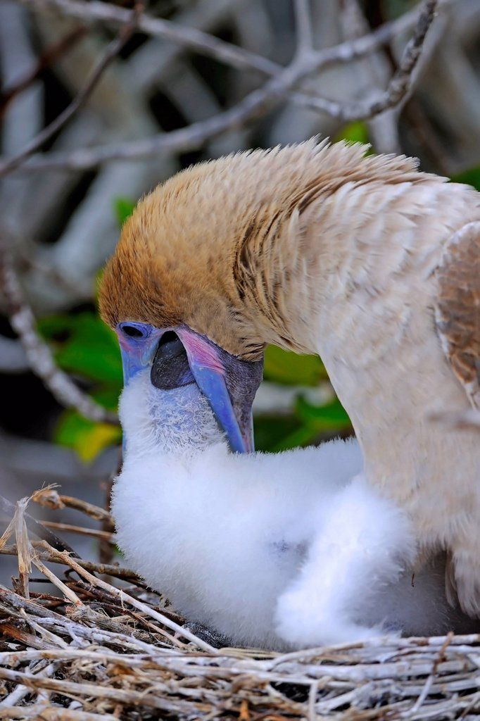 Stock Photo: 1848-630448 Red_footed Booby Sula sula, brown variant, feeding chick in nest, Genovesa Island, Tower Island, Galápagos Islands, Unesco World Heritage Site, Ecuador, South America