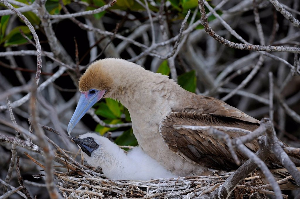 Red_footed Booby Sula sula, brown variant, with chick in nest, Genovesa Island, Tower Island, Galápagos Islands, Unesco World Heritage Site, Ecuador, South America : Stock Photo