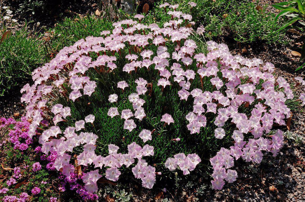 Stock Photo: 1848-646387 Cheddar Pink Dianthus caesius, Dianthus gratianopolitanus, North Rhine_Westphalia, Germany, Europe