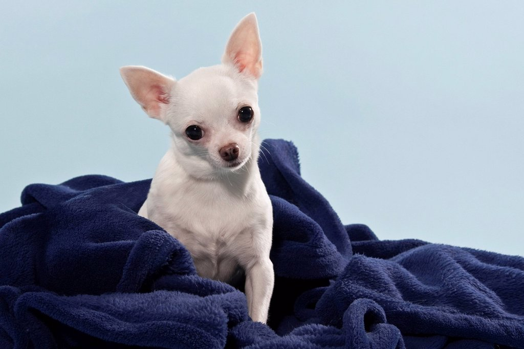Stock Photo: 1848-646832 Chihuahua wrapped in a blanket