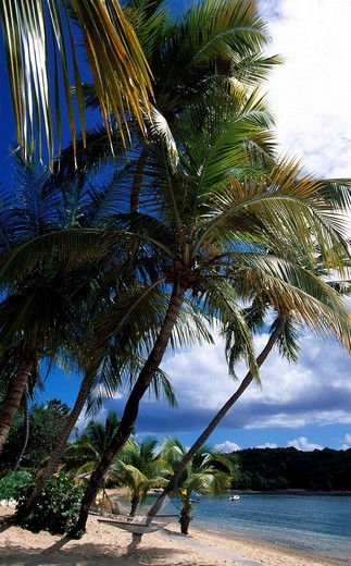 Palm trees on Bolongo Beach, St. Thomas Island, United States Virgin Islands, Caribbean : Stock Photo
