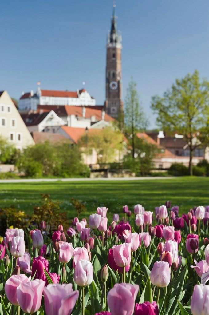 Stock Photo: 1848-647423 Tulips, Martinskirche, St. Martin´s Church and Burg Trausnitz Castle, Landshut, Bavaria, Germany, Europe