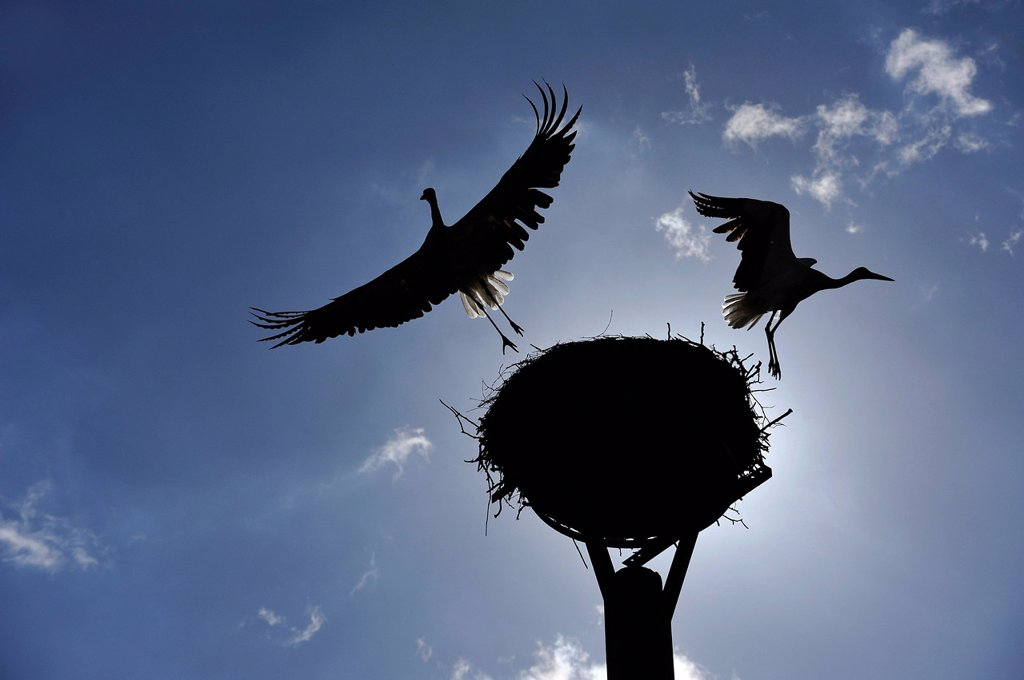 White Storks Ciconia ciconia, pair leaving the nest, in silhouette against the light, Kuhlrade, Mecklenburg_Western Pomerania, Germany, Europe : Stock Photo