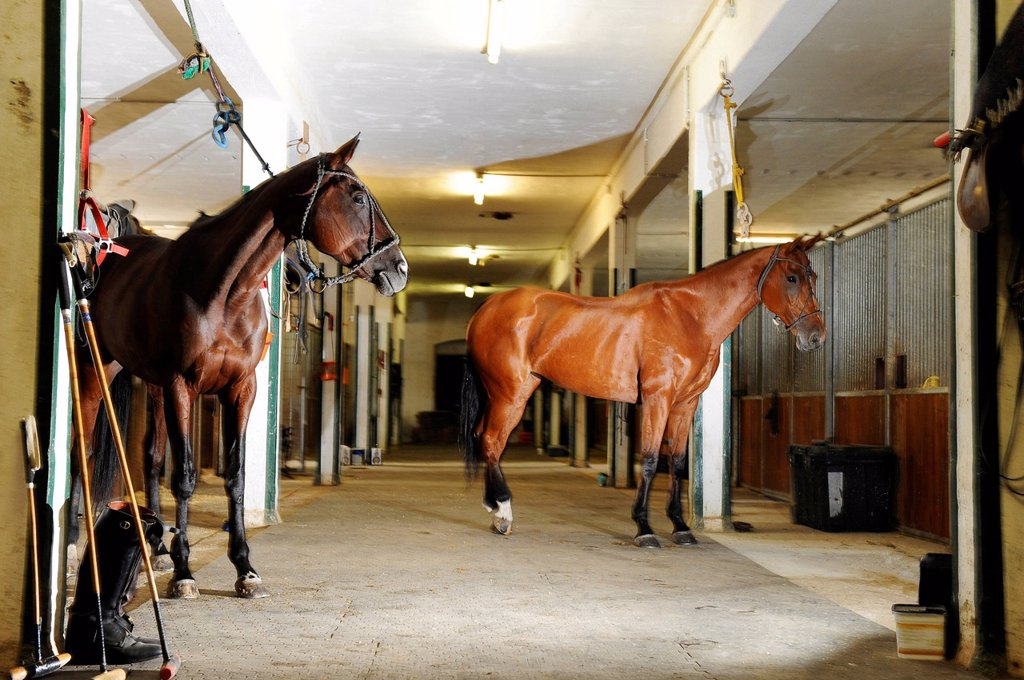 Polo ponies in the stable, polo equipment next to the boxes : Stock Photo