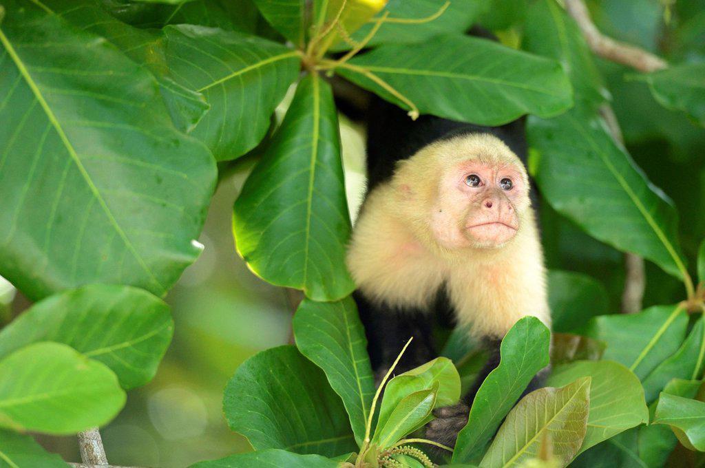White_headed or White_faced Capuchin Cebus capucinus, Manuel Antonio National Park, Costa Rica, Central America : Stock Photo