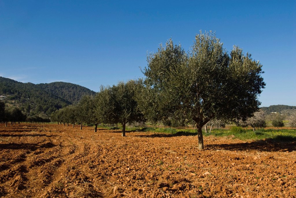 Olive tree plantation in the valley of San Mateo, Ibiza, Spain, Europe : Stock Photo