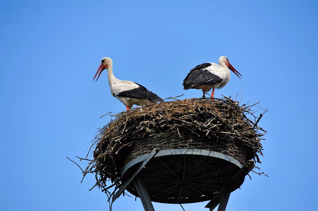 Stock Photo: 1848-649285 Pair of White Storks Ciconia ciconia on a nest against the blue sky, Kuhlrade, Mecklenburg_Western Pomerania, Germany, Europe