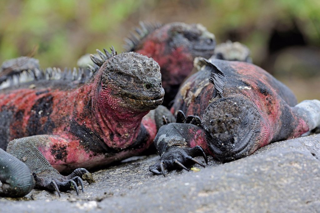 Stock Photo: 1848-649612 Marine Iguanas Amblyrhynchus cristatus, Española Island subspecies, Galapagos Islands, UNESCO World Heritage Site, Ecuador, South America