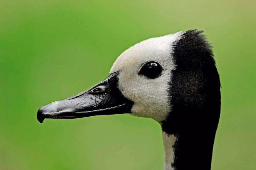White_faced Whistling Duck Dendrocygna viduata, portrait, Madagascar, Africa : Stock Photo