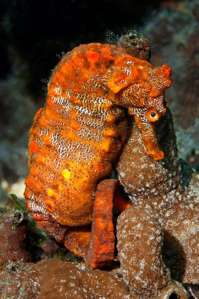 Stock Photo: 1848-650304 Pacific seahorse Hippocampus ingens and a small sponge, Ponta de Sao Vicente, Isabella Island, Albemarle, Galapagos Islands, a UNESCO World Natural Heritage Site, Ecuador, Pacific Ocean