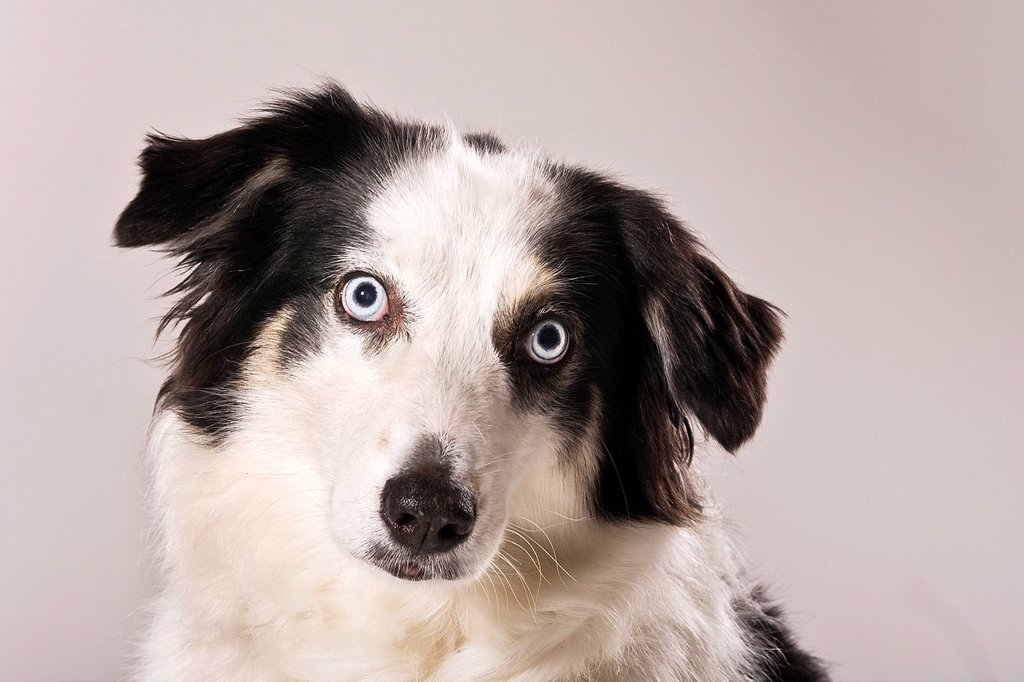 Australian Shepherd dog, portrait : Stock Photo