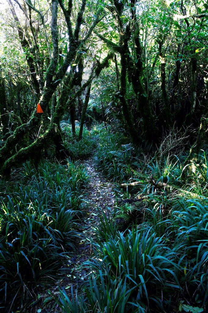 Orange markings showing the way to hikers in New Zealand, Te Rereatukahia Loop Track, Kaimai Mamaku Forest Park, Bay of Plenty, New Zealand : Stock Photo