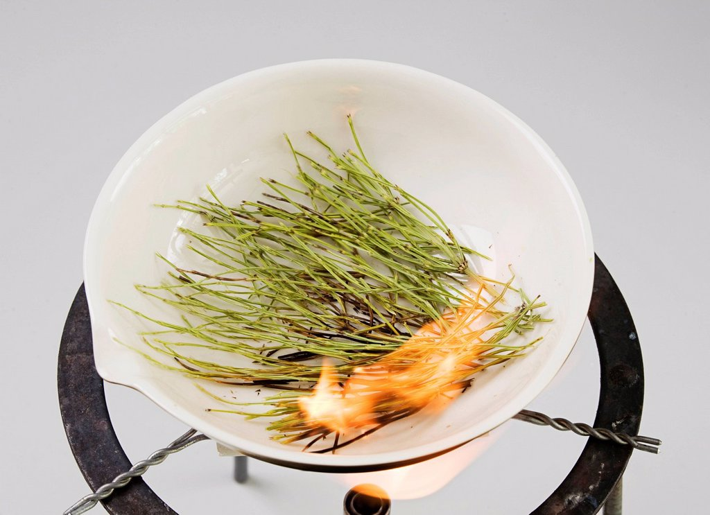 Stock Photo: 1848-651188 Horsetail, Snake Grass or Puzzlegrass Equisetum, incineration process, heat and fire first carbonise the plant, then turn it into ash, cinis