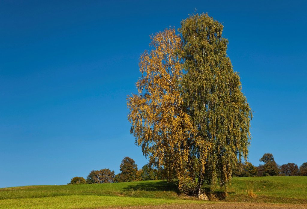 Birch Betula, two trees with yellow and green leaves, Weiz, Styria, Austria, Europe : Stock Photo