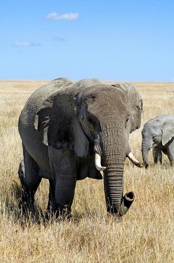 Elephants Loxodonta africana on the grass plains west of Seronera Serengeti, Tanzania, Africa : Stock Photo