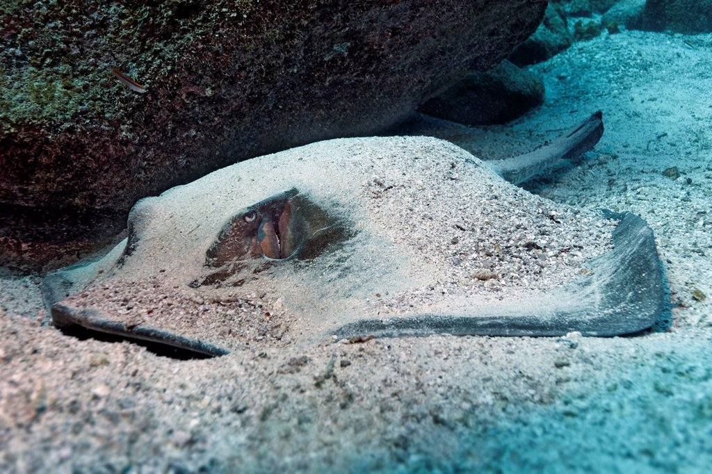Stock Photo: 1848-651926 Blotched fantail ray Taeniura meyeni, lying camouflaged on the sandy seafloor, Gardner Bay, Española Island also known as Hood Island, Galápagos Islands, a World Heritage _ natural site, Ecuador, South America, Pacific Ocean