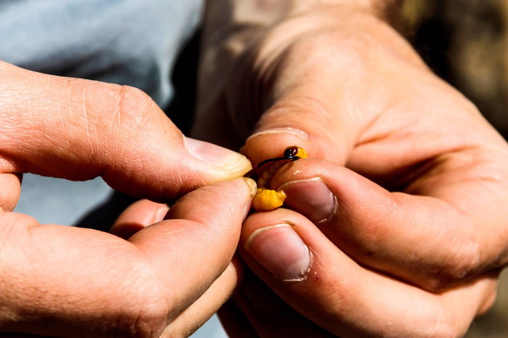 Stock Photo: 1848-652193 Angler putting a maggot on a hook