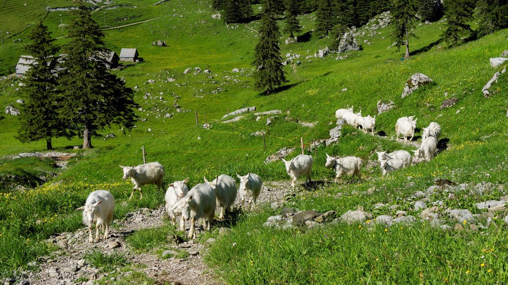 Goats at the Schrennenweg hiking trail, Alpstein range, Canton of St Gallen, Switzerland, Europe : Stock Photo