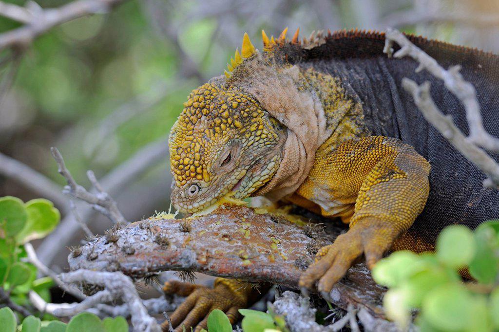 Stock Photo: 1848-653364 Galapagos Land Iguana Conolophus subcristatus, island of Plaza Sur subspecies, feeding on a Galápagos prickly pear leaf Opuntia echios, Galapagos Islands, UNESCO World Heritage Site, Ecuador, South America