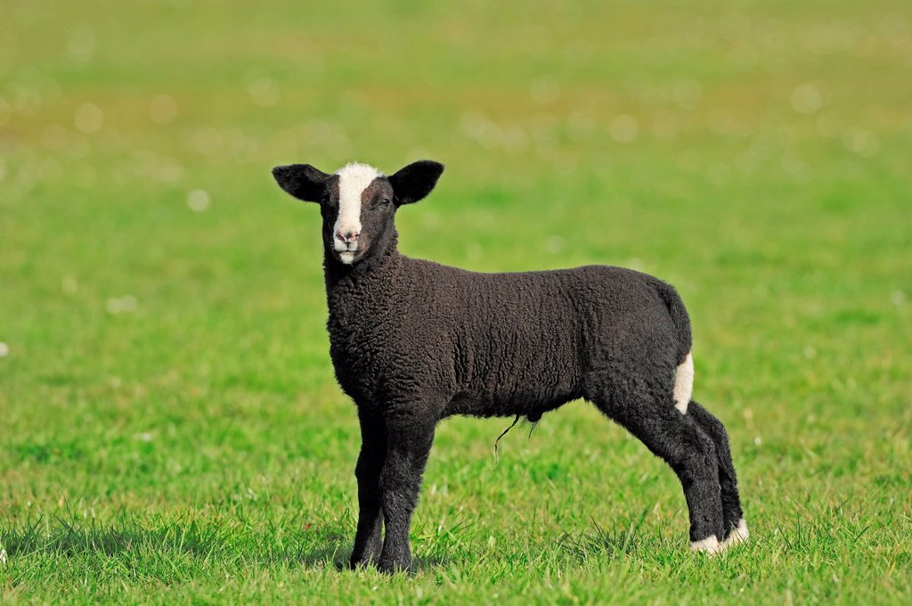 Zwartbles Sheep, Domestic Sheep Ovis orientalis aries, lamb on a pasture, North Holland, Netherlands, Europe : Stock Photo
