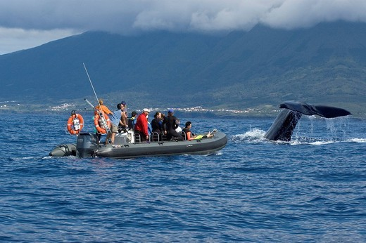 Tourist with zodiac watching a diving spermwhale, Pico, Acores, Portugal : Stock Photo