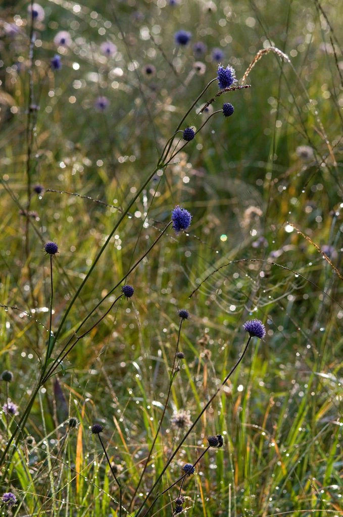 Stock Photo: 1848-654972 Meadow with dew_covered grasses, Riedener Lake, Rieden, Lech Valley, Ausserfern, Tyrol, Austria, Europe