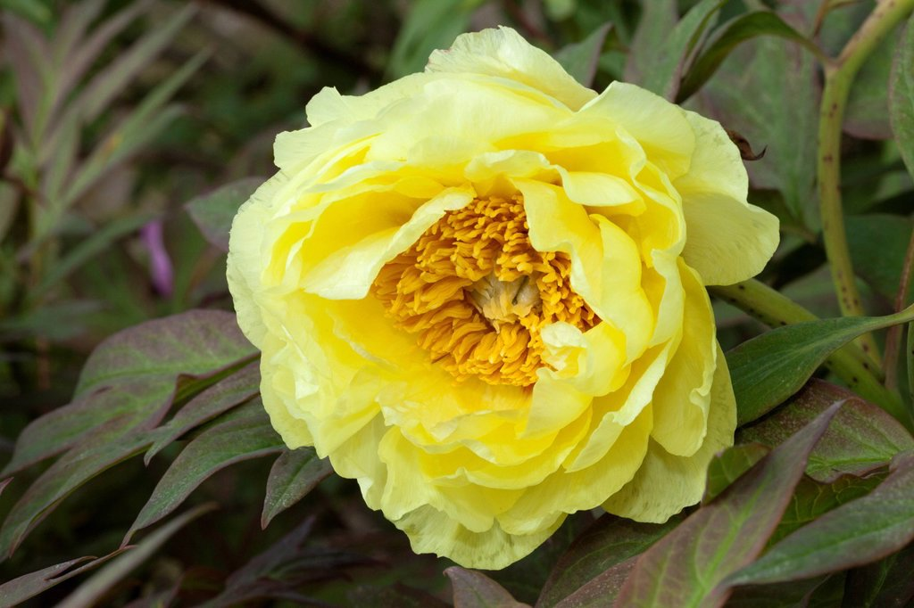 Stock Photo: 1848-656256 Flowering Tree Peony Paeonia x suffruticosa, High Noon, Botanical Garden, Duesseldorf, North Rhine_Westphalia, Germany, Europe