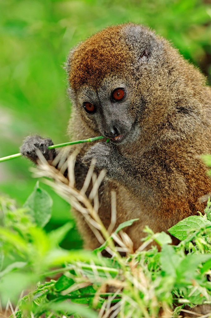 Lac Alaotra bamboo lemur or Lac Alaotra gentle lemur Hapalemur alaotrensis, Madagascar, Africa : Stock Photo