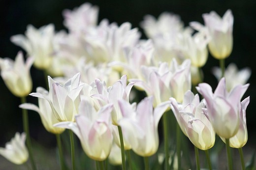 White Tulips : Stock Photo