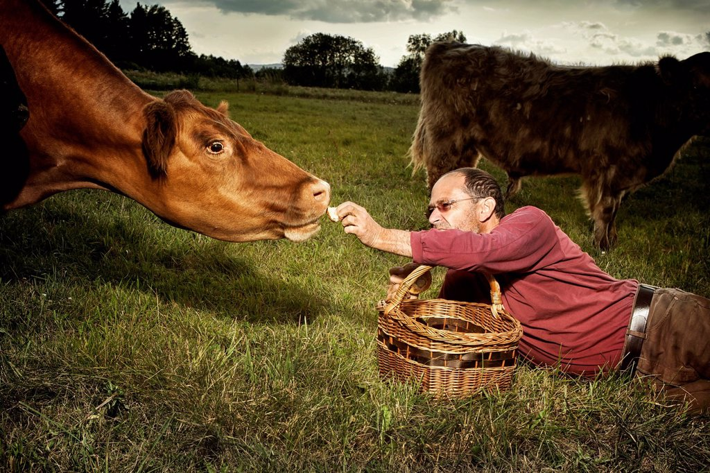 Stock Photo: 1848-657602 Man with a basket feeding a German Angus cow Bos primigenius taurus, Austria, Europe