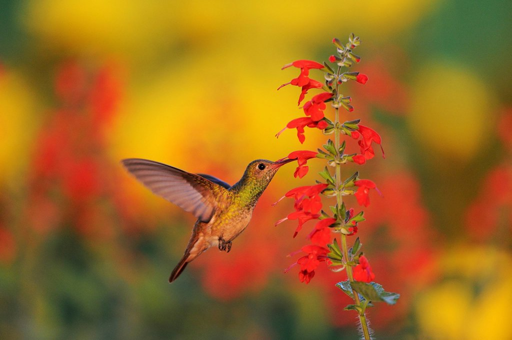 Stock Photo: 1848-658074 Buff_bellied Hummingbird Amazilia yucatanensis, female feeding on Tropical Sage Salvia coccinea, Dinero, Lake Corpus Christi, South Texas, USA