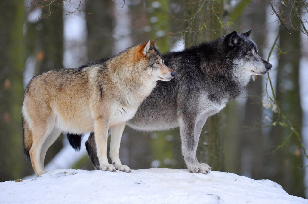 Mackenzie Wolves, Eastern wolf, Canadian wolf Canis lupus occidentalis in snow, on guard : Stock Photo