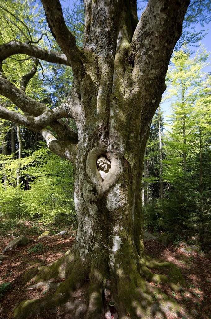 Balzer Herrgott, stone statue of Jesus Christ grown into a beech tree near Guetenbach, Black Forest, Baden_Wuerttemberg, Germany, Europe : Stock Photo