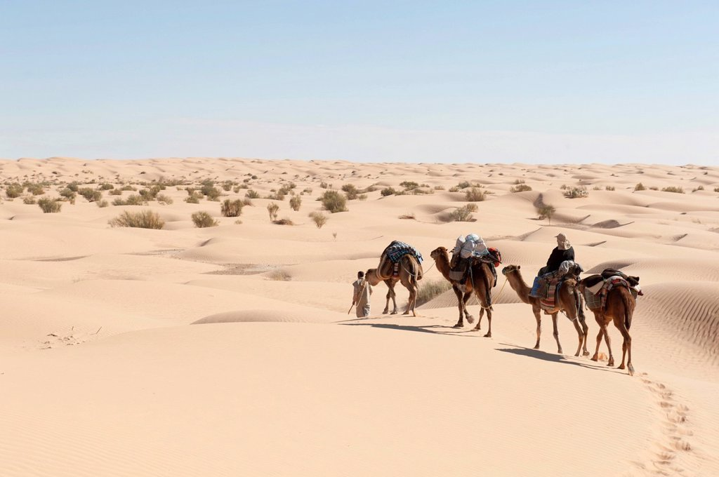 Sustainable tourism, camel trekking, camels, dromedaries Camelus dromedarius, sand dunes, Sahara desert between Douz and Ksar Ghilane, Southern Tunisia, Tunisia, Maghreb, North Africa, Africa : Stock Photo