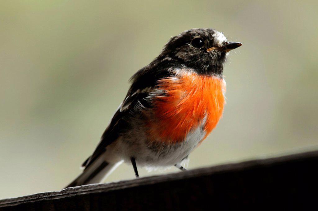 Stock Photo: 1848-661789 Scarlet Robin Petroica boodang, male, Western Australia, Australia