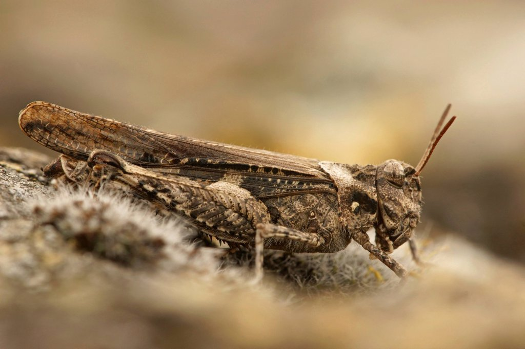 Grasshopper Acrotylus insubricus, northern Bulgaria, Bulgaria, Europe : Stock Photo