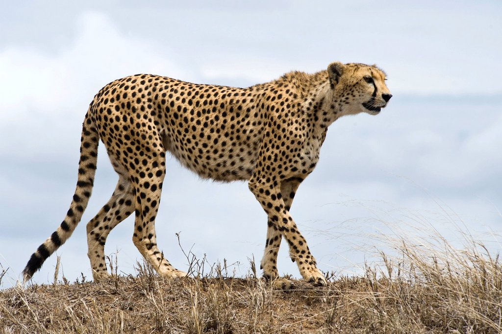 Stock Photo: 1848-662779 Cheetah Acinonyx jubatus, female looking for prey, Kopjes Simba, Serengeti national park, UNESCO World Heritage Site, Tanzania, Africa