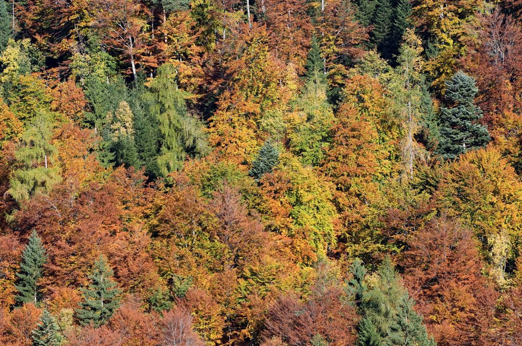 Stock Photo: 1848-662786 Mixed forest in autumn, Stallen Valley, Karwendel Mountains, Tyrol, Austria, Europe