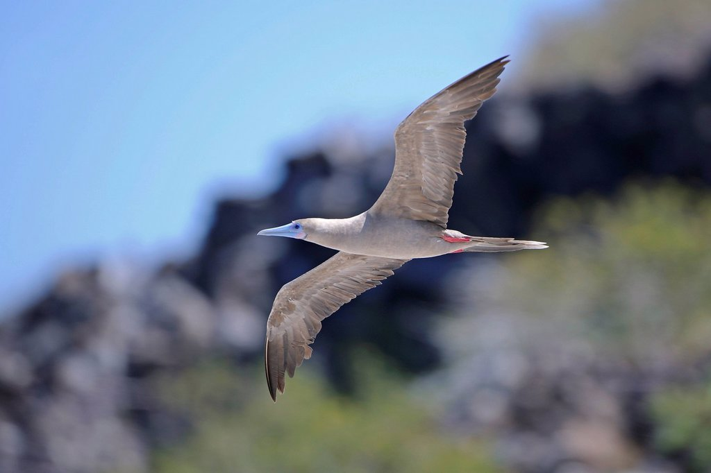 Red_footed Booby Sula sula, brown variant, in flight, Genovesa Island, Tower Island, Galápagos Islands, Unesco World Heritage Site, Ecuador, South America : Stock Photo