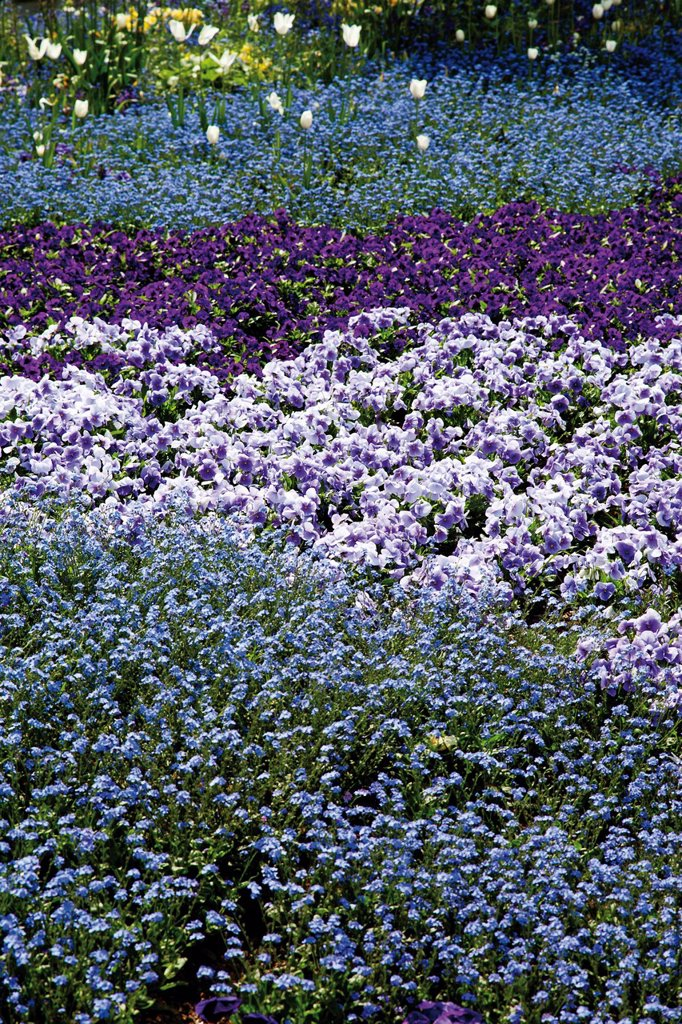 Stock Photo: 1848-664549 Flower beds, Forget_me_nots Myosotis and Pansies Viola, Bundesgartenschau, Federal Garden Show, BUGA 2011, Koblenz, Rhineland_Palatinate, Germany, Europe
