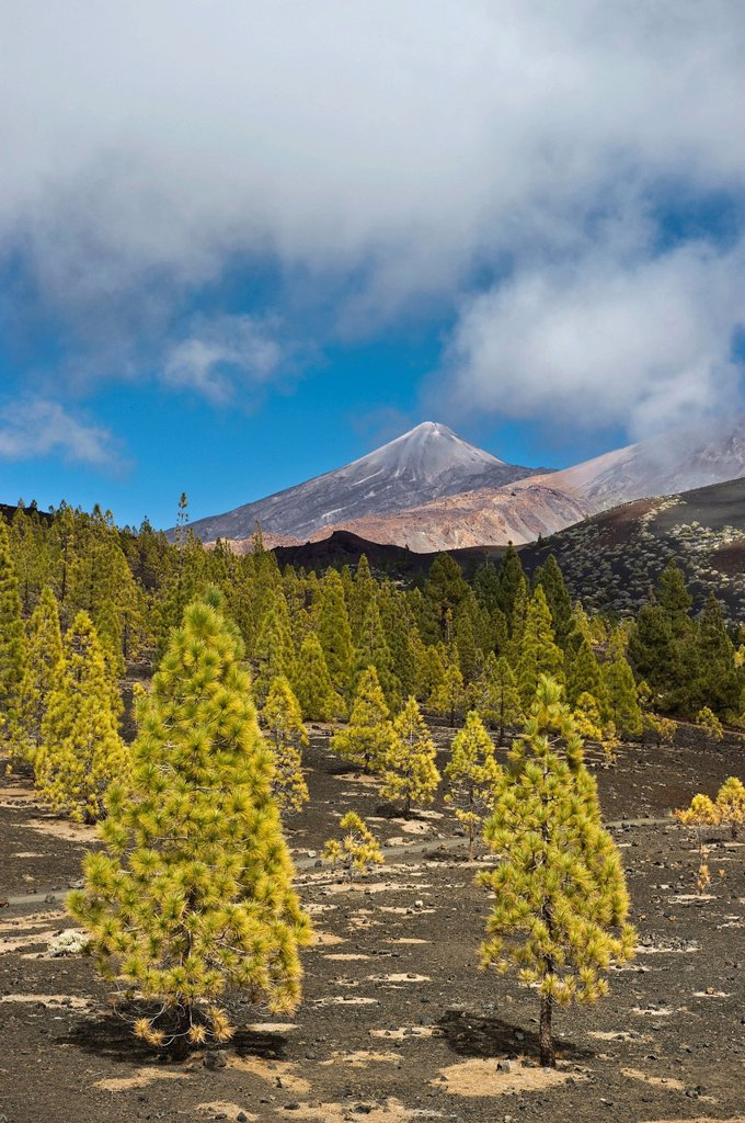 Pines Pinus sp. at the edge of the tree line and the summit of Teide Mountain, Mirador de Chio, Teide National Park, Tenerife, Canary Islands, Spain, Europe : Stock Photo