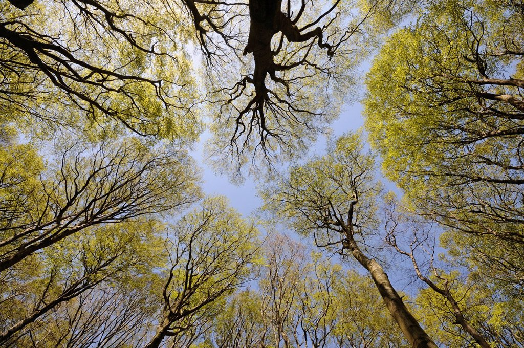 Treetops, beech forest in the Jasmund National Park, Rugia, Ruegen, Mecklenburg_Western Pomerania, Germany, Europe : Stock Photo