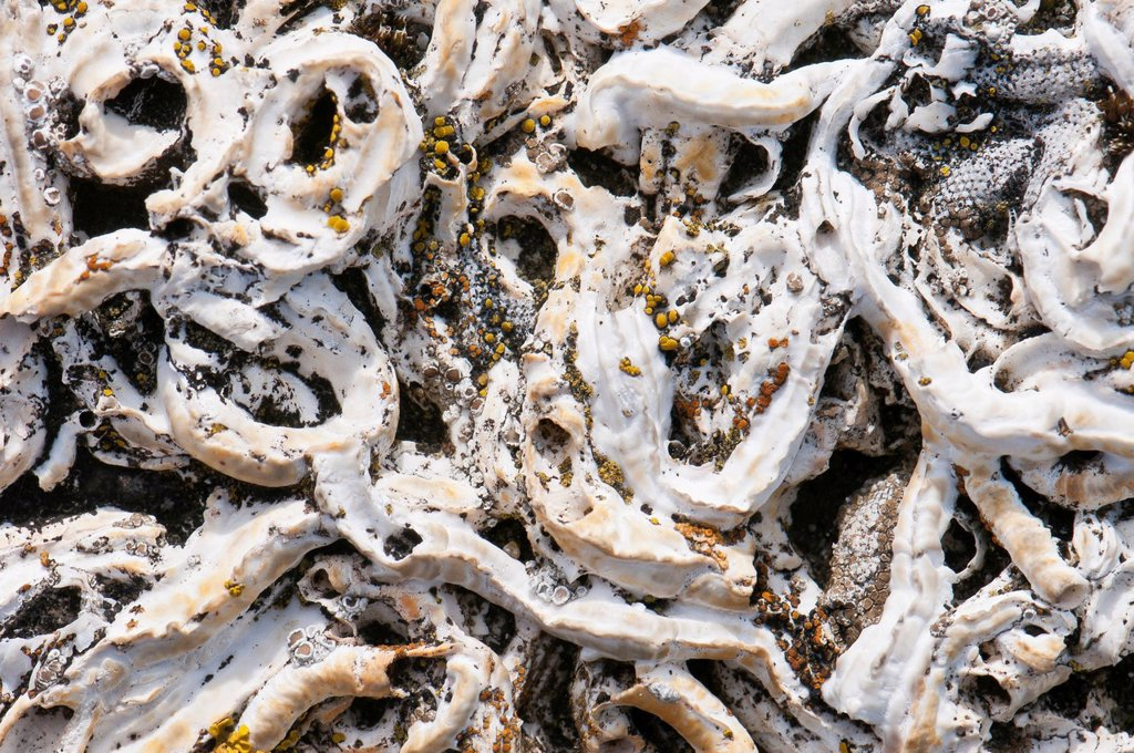 Old chalk tubes of Filigree worm Filograna implexa with lichens, West Jutland, Denmark, Europe : Stock Photo