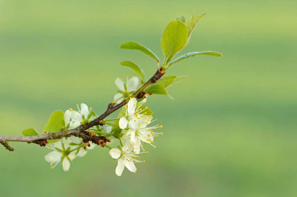 Stock Photo: 1848-668884 Tree blooming in spring, plum Prunus domestica