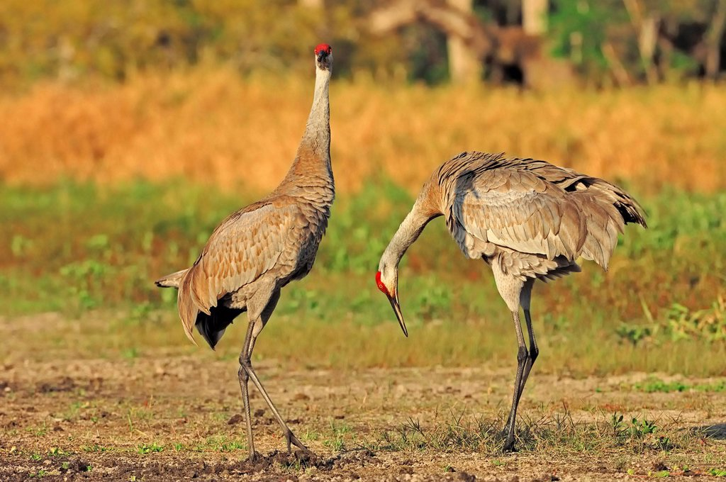 Stock Photo: 1848-670039 Florida Sandhill Crane Grus canadensis pratensis, couple courting, Myakka River State Park, Florida, USA