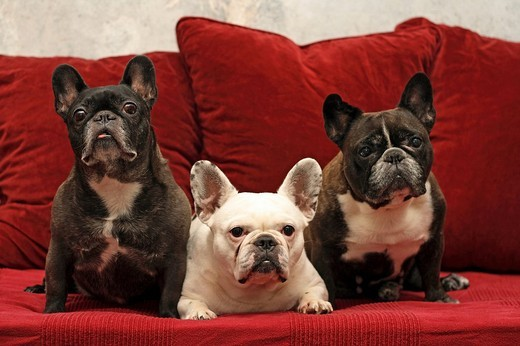 3 French Bulldogs sitting next to each other on a couch : Stock Photo
