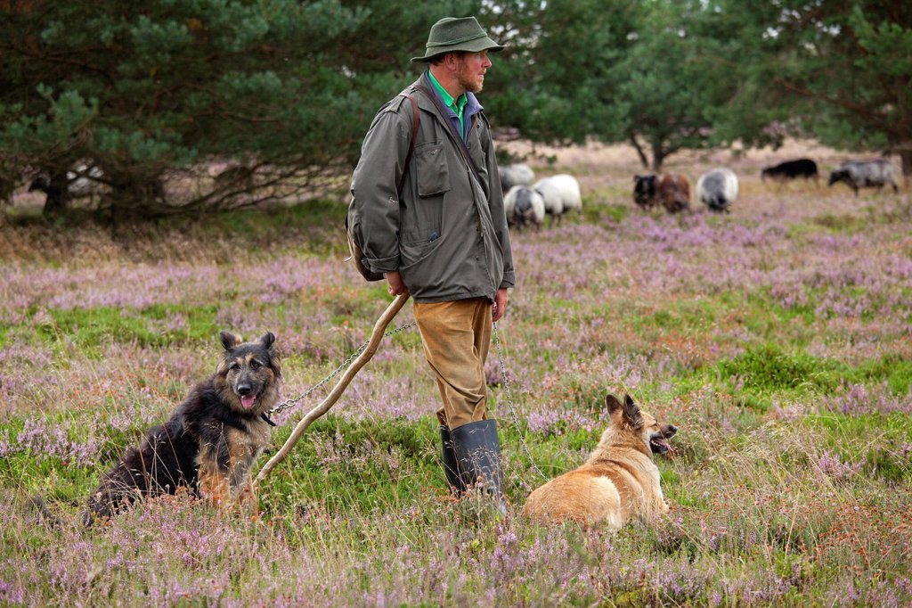 Shepherd with sheepdogs and flock on the heath near Wilsede, Luneburg Heath, Lower Saxony, Germany, Europe : Stock Photo