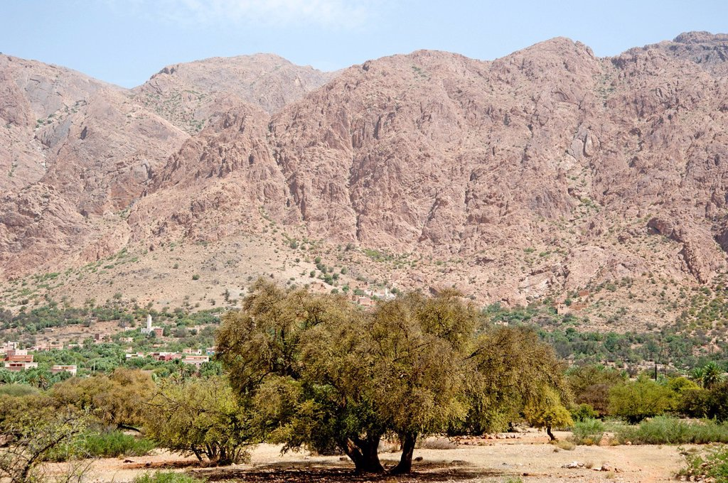 Stock Photo: 1848-670463 Argan trees Argania spinosa in the Anti_Atlas Mountains, Morocco, North Africa, Africa