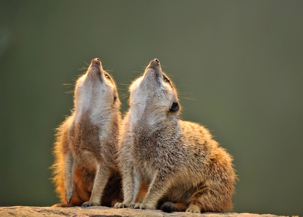 Stock Photo: 1848-670916 Meerkats Suricata suricatta looking up